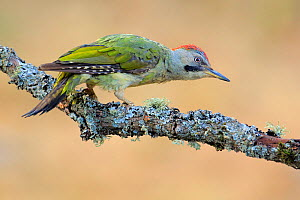 Green woodpecker (Picus viridis) on lichen-covered branch, Sierra de Grazalema Natural Park, Southern Spain. July  -  Andres M. Dominguez