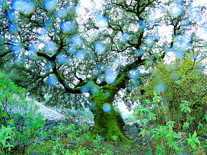 Holm oak (Quercus ilex) in the Sierra de Grazalema Natural Park, Benaocaz, southern Spain, November. - Andres M. Dominguez