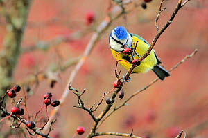 Blue Tit (Cyanistes caeruleus) eating Hawthorn berries, Sierra de Grazalema Natural Park, southern Spain, December.  -  Andres M. Dominguez