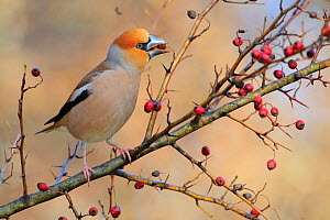 Hawfinch (Coccothraustes coccothraustes) feeding on berries, Sierra de Grazalema NP, Spain. February. - Andres M. Dominguez