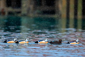 Steller's eider duck (Polysticta stelleri) four males and one female, Batsfjord, Norway. March  -  Andres M. Dominguez