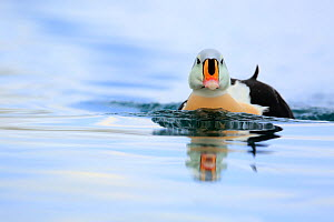 Adult male King Eider (Somateria spectabilis).Batsfjord, Norway, March.  -  Andres M. Dominguez