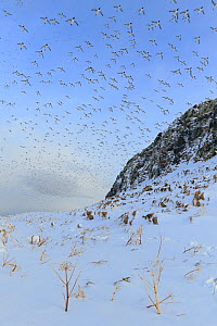 Guillemots (Uria aalge) in flight over snow, Vardo, Norway, March.  -  Andres M. Dominguez