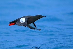 Black guillemot (Cepphus grylle) adult in flight. Batsfjord. Norway. March  -  Andres M. Dominguez