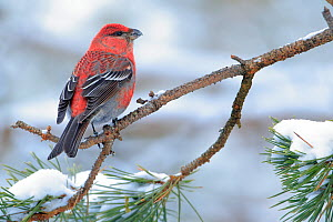 Pine grosbeak (Pinicola enucleator) Ivalo, Finland. March - Andres M. Dominguez
