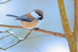 Siberian tit (Poecile cinctus) perched, Ivalo, Finland. March  -  Andres M. Dominguez