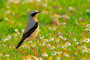 Northern wheatear (Oenanthe oenanthe) Arcos de la Frontera, southern Spain. April - Andres M. Dominguez
