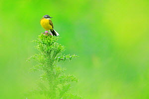 Western yellow wagtail (Motacilla flava) perched on thistle, Andalusia. Spain. April  -  Andres M. Dominguez