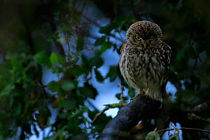 Little owl (Athene noctua) taking shelter from the rain, Arcos de la Frontera, southern Spain. April.  -  Andres M. Dominguez