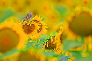 Corn bunting (Emberiza calandra) perched on sunflower, Arcos de la Frontera. Southern Spain. June.  -  Andres M. Dominguez