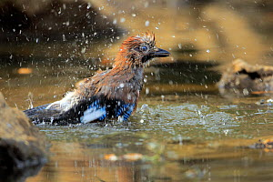 Eurasian Jay (Garrulus glandarius) bathing, Grazalema, southern Spain, July.  -  Andres M. Dominguez