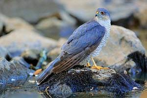 Eurasian sparrowhawk (Accipiter nisus) in the Sierra de Grazalema Natural Park. Southern Spain. July - Andres M. Dominguez