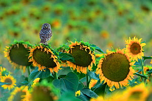 Little owl (Athene noctua) perched on sunflower, Cadiz, Andalusia, Spain, July  -  Andres M. Dominguez