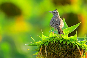 Crested Lark (Galerida cristata) perched on sunflower, Cadiz, southern Spain, July. - Andres M. Dominguez