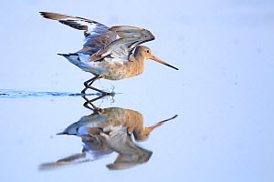 Black-tailed godwit (Limosa limosa) Danube Delta, Romania. July  -  Andres M. Dominguez