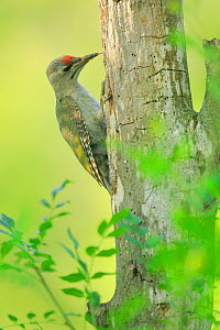 Grey-headed woodpecker (Picus canus) feeding at holes in Populus sp tree , Danube Delta, Romania. July.  -  Andres M. Dominguez