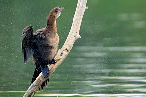 Pygmy cormorant (Microcarbo pygmaeus) shaking off water from its feathers, Danube Delta, Romania. July.  -  Andres M. Dominguez
