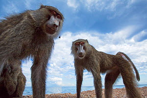 Olive baboons standing on the lake shore. Gombe National Park, Tanzania.  -  Anup Shah