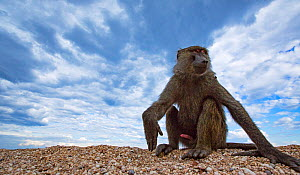 Olive baboon (Papio anubis) sitting on the lake shore. Gombe National Park, Tanzania.  -  Anup Shah