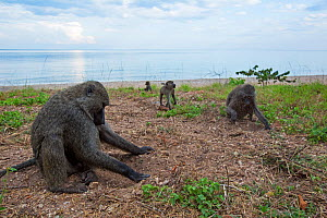 Olive baboons digging in soil for the roots of sedges. Gombe National Park, Tanzania.  -  Anup Shah