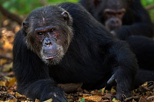 Eastern chimpanzee (Pan troglodytes schweinfurtheii) 'Alpha' male 'Ferdinand' aged 21 years being groomed . Gombe National Park, Tanzania. May 2014.  -  Anup Shah