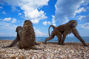 Olive baboons resting and grooming on the shore of Lake Tanganyika. Gombe National Park, Tanzania.  -  Anup Shah
