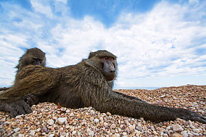 Olive baboon (Papio anubis) male being groomed. Gombe National Park, Tanzania.  -  Anup Shah