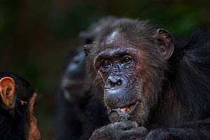 Eastern chimpanzee (Pan troglodytes schweinfurtheii) female 'Gremlin' aged 43 years feeding on charcoal . Gombe National Park, Tanzania. September 2014.  -  Anup Shah