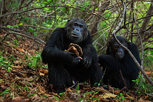 Eastern chimpanzee (Pan troglodytes schweinfurtheii) alpha male 'Ferdinand' aged 22 years feeding on the honeycomb from a bees nest watched by his brother 'Faustino' aged 25 years . Go...  -  Anup Shah