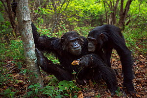 Eastern chimpanzee (Pan troglodytes schweinfurtheii) alpha male 'Ferdinand' aged 22 years feeding on the honeycomb from a bees nest while female 'Samwise' aged 12 begs for some . Gombe...  -  Anup Shah