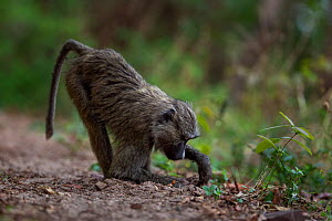 Olive baboon (Papio anubis) juvenile digging for roots. Gombe National Park, Tanzania.  -  Anup Shah