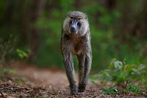 Olive baboon (Papio anubis) female walking along a track. Gombe National Park, Tanzania.  -  Anup Shah