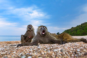 Olive baboon (Papio anubis) young male and female resting on the shores, Lake Tanganyika. Gombe National Park, Tanzania.  -  Anup Shah