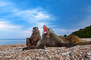Olive baboon (Papio anubis) young male and female resting on the shores of Lake Tanganyika. Gombe National Park, Tanzania.  -  Anup Shah
