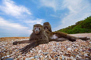 Olive baboon (Papio anubis) young male being groomed on the shores of Lake Tanganyika. Gombe National Park, Tanzania.  -  Anup Shah