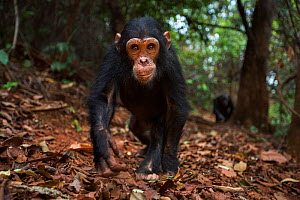 Eastern chimpanzee (Pan troglodytes schweinfurtheii) infant male 'Fifty' aged 4 years walking along a trail . Gombe National Park, Tanzania. September 2014. - Anup Shah