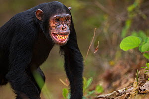 Eastern chimpanzee (Pan troglodytes schweinfurtheii) adolescent male 'Fundi' aged 14 years making a submissive facial gesture to an adult female . Gombe National Park, Tanzania. September 2014...  -  Anup Shah