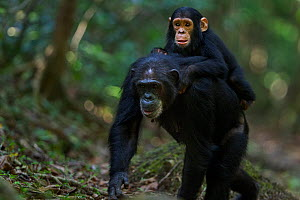 Eastern chimpanzee (Pan troglodytes schweinfurtheii) female 'Dilly' aged 27 years carrying infant son 'Duke' aged 3 years on her back . Gombe National Park, Tanzania. September 2014.  -  Anup Shah