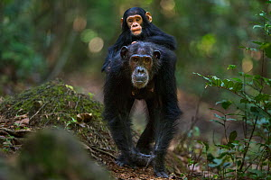 Eastern chimpanzee (Pan troglodytes schweinfurtheii) female 'Schweini' aged 23 years carrying her infant son 'Shwali' aged 20 months on her back . Gombe National Park, Tanzania. Septem...  -  Anup Shah