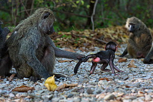 Olive baboon (Papio anubis) female trying to stop a baby aged about 3 months going to a male(Papio anubis). Gombe National Park, Tanzania.  -  Anup Shah