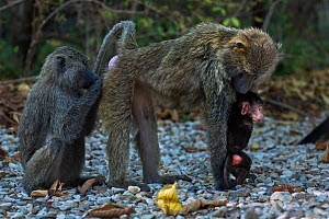 Olive baboon (Papio anubis) female with a baby aged about 3 months being groomed. Gombe National Park, Tanzania.  -  Anup Shah