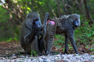 Olive baboon (Papio anubis) male grooming a female. Gombe National Park, Tanzania.  -  Anup Shah