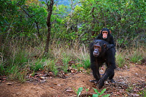 Eastern chimpanzee (Pan troglodytes schweinfurtheii) female 'Golden' aged 16 years carrying her infant daughter 'Glamour' aged 3 years . Gombe National Park, Tanzania. September 2014.  -  Anup Shah