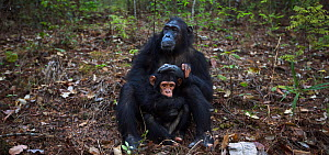 Eastern chimpanzee (Pan troglodytes schweinfurtheii) female 'Glitter' aged 16 years playing with her infant daughter 'Gossamer' aged 2 years . Gombe National Park, Tanzania. September...  -  Anup Shah