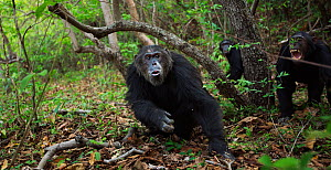 Eastern chimpanzee (Pan troglodytes schweinfurtheii) alpha male 'Ferdinand' aged 22 years responding to an incoming male . Gombe National Park, Tanzania. September 2014.  -  Anup Shah