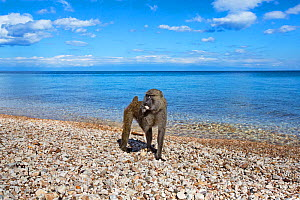 Olive baboon (Papio anubis) female licking stones for minerals on the shore of Lake Tanganyika. Gombe National Park, Tanzania.  -  Anup Shah
