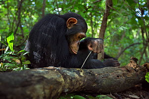 Eastern chimpanzee (Pan troglodytes schweinfurtheii) juvenile male 'Gimli' aged 10 years using stick to try and get at insects he can hear inside rotting log. Gombe National Park, Tanzania.  -  Anup Shah
