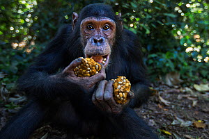 Eastern chimpanzee (Pan troglodytes schweinfurtheii) juvenile male 'Gimli' aged 10 years with wodges of fruit he is feeding on . Gombe National Park, Tanzania. May 2014. - Anup Shah