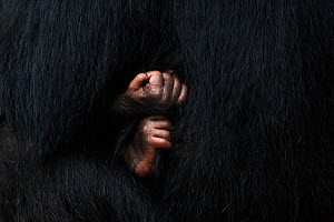 Eastern chimpanzee (Pan troglodytes schweinfurtheii) baby aged 3 weeks hand and foot close-up . Gombe National Park, Tanzania. September 2014.  -  Fiona Rogers