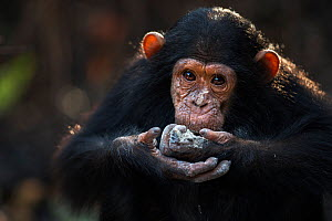 Eastern chimpanzee (Pan troglodytes schweinfurtheii) infant male 'Ipo' aged 5 years feeding on charcoal from a fire . Gombe National Park, Tanzania. September 2014.  -  Fiona Rogers